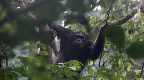 Simpanssi kuvattuna Ruandassa.