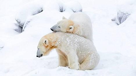 Ranzo-jääkarhu ja sen emo Venus ottivat ilon irti lumesta ja kisailevat ennen kuin Ranzo jättää Ranuan eläintarhan.