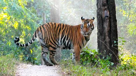 Kuvan tiikeri ei liity jutun tapaukseen.