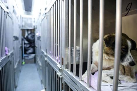 Dulce-koira odottamassa luovutusta pakettiautossa yli 30 muun koira kanssa.