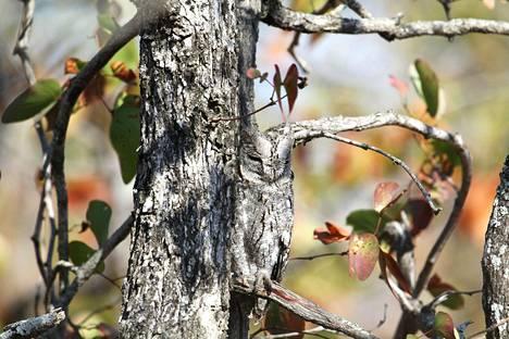 Ei pelkkä puunrunko, vaan kun näet kuvassa lymyilevän viisaan eläimen, et voi olla näkemättä sitä.