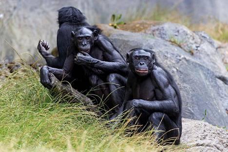 Kokeellinen rokote annettiin näille bonoboille.