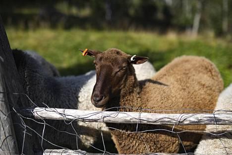 Puukarin Pysäkillä  on omia lampaita ja  25 hehtaaria luomupeltoa.
