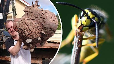 Alanen löysi pysäyttävän kokoisen ampiaispesän.