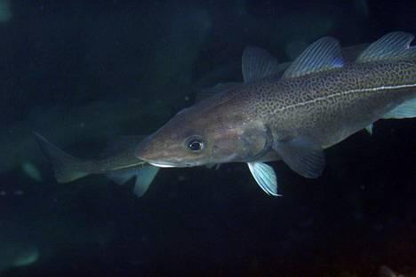 Tämä turska uiskenteli norjalaisessa kalankasvatusaltaassa.