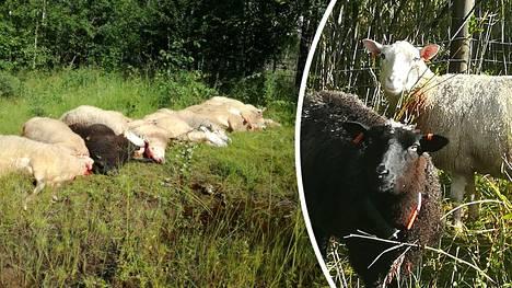 Liki puolet lampaista löydettiin kuolleina.