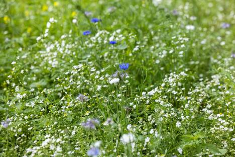 Niitty on helppohoitoinen ja kaunis ratkaisu puutarhaan.