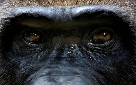 Gorilla vahingoitti eläintenhoitajaa Espanjassa Madridin eläintarhassa sunnuntaina. Kuvituskuva.
