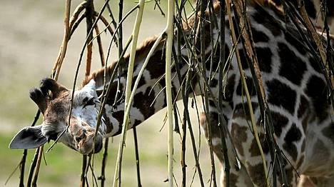 Kirahvi maiskuttelee oksia Gelsenkirchenin eläintarhassa.