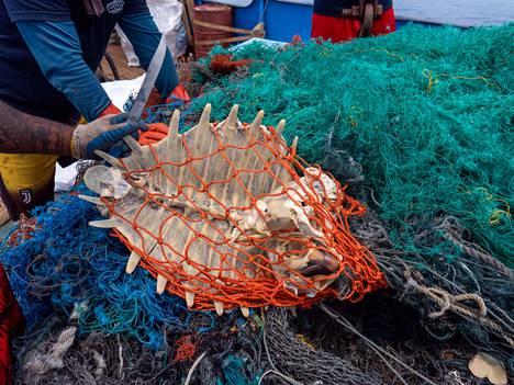 Merikilpikonnan jäänteet verkossa.