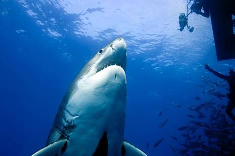 Valkohai on maailman suurin petokala.