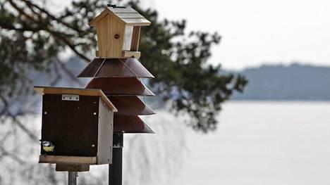 Linnut laulavat myös talvella, jos on lauhaa, asiantuntija kertoo.