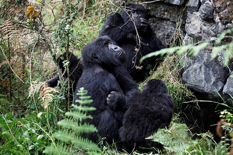 Virungan kansallispuistossa gorillojen rokottamista pidetään mahdollisena.