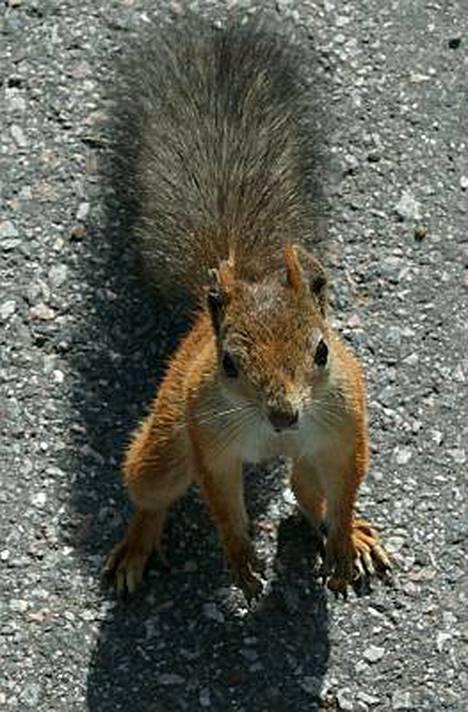 Saksalainen orava puri pienessä ajassa niin montaa ihmistä kuin se ehti.