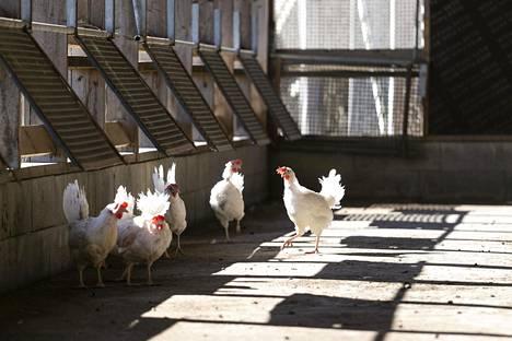 Vain kourallinen 8500 kanasta on uskaltautunut nauttimaan auringosta terassille.
