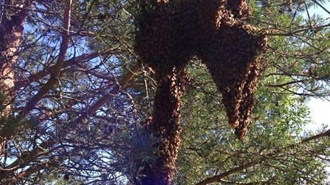 Tekemisen puute voi ajaa mehiläisparven liikkeelle. Pesänsä jättänyt yhdyskunta on tässä asettunut puunhaaraan, mutta parvi voi mennä vaikka savupiipun hormiin.