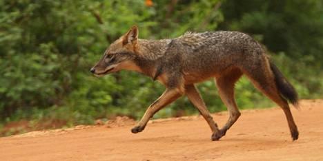 Kultasakaali on pienempi kuin verivihollisensa susi, mutta suurempi kuin kettu, ja voi risteytyä kookkaiden kulkukoirien kanssa.