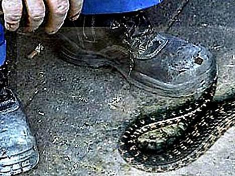 Raksa herättää käärmeet, ja sitten matelijaa viedään.