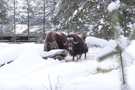 Myskihärkäpariskunta innostuu välillä jopa kirmaamaan lumessa.