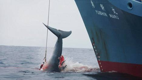 """Japani on kiertänyt valaanpyyntikieltoa tappamalla joka vuosi satoja valaita """"tieteellisiin tarkoituksiin""""."""