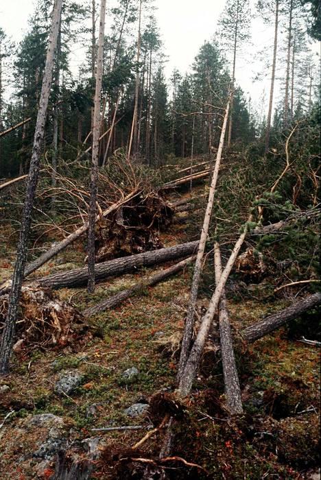 Kaatunutta metsää Kemissä.