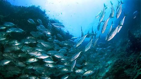 Tonnikalaparvi trooppisella koralliriutalla. Merten hapenpuute voi koitua kohtalokkaaksi suomalaistenkin rakastamalle tonnikalalle.