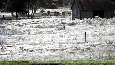 Ihmiset ovat paenneet Wagga Waggasta, mutta hämähäkit valtaavat pellot ja pientareet.