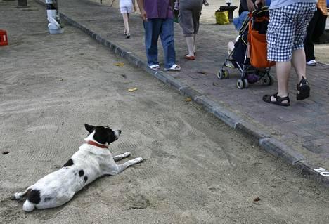 Katukoira tarkkaili jalkakäytävän liikennettä Balin Kutassa syyskuussa 2010.