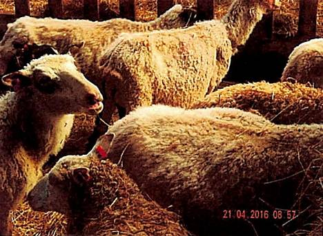 Osa lampaista oli laihoja, jotkut vähän parempikuntoisia.