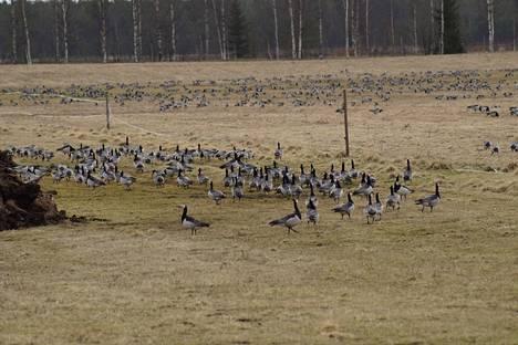 Tuhansien valkoposkihanhien parvet olivat tiistaina majoittuneina Navettavalkean tilan pelloille Tohmajärvellä Pohjois-Karjalassa.