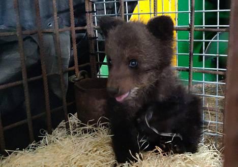 Pena-karhunpentu totuttelee elämään Suurpetokeskuksessa.
