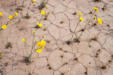 Death Valleyssa nähdään kukkia vain kerran vuosikymmenessä.