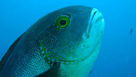 Australian meritieteen instituutti julkaisi tiedotteensa yhteydessä kuvan kalasta. Tiedotteesta ei kuitenkaan käy ilmi, onko kyseessä juuri sama 81-vuotias yksilö, josta tiedotteessa kerrotaan.