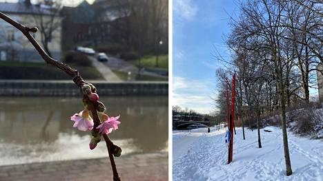 Viime vuonna turkulaiset kävivät kuvaamassa kirsikankukkia. Tänä talvena he ovat mieluummin hiihtäneet.
