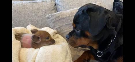 Luna-rottweiler on päässyt jo haistelemaan pikkupossua.