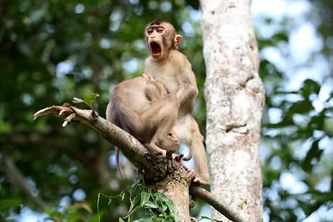 Makakien puuhastelu tallentui muistikortille Borneolla.