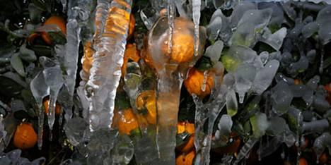 Floridan appelsiinit ovat saaneet pakkasissa päälleen jääkuorutuksen.