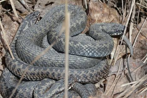 Kyyn purema ei välttämättä aiheuta oireita, jos käärme ei käytä myrkkyään.