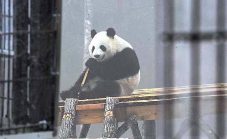 Kuvassa Ähtäri Zoossa asuva Lumi-panda.