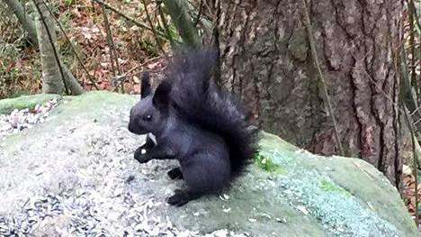 Musta Orava