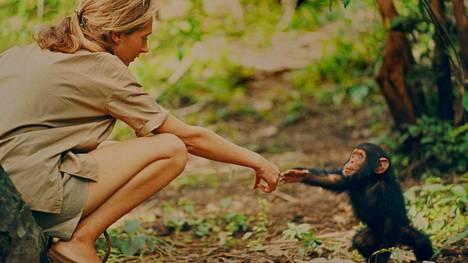 Simpanssitutkija Jane Goodallista kertova elokuva on yksi Docpoint-elokuvafestivaalin tärpeistä.