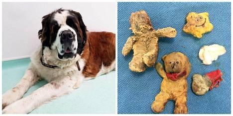 Maisy-koiralla epäiltiin syöpää – kyseessä olikin neljä pehmolelua