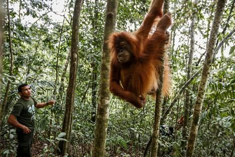 """Orankien, malajin kielellä """"metsän ihmisten"""" levinneisyysalueet ovat huventuneet pieniksi."""