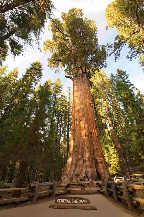 Kenraali Sherman on tilavuudeltaan maailman suurin puu.
