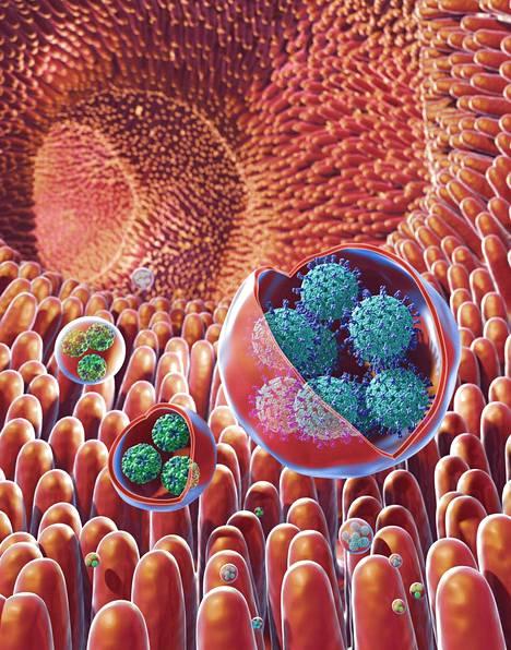"""Norovirukset (vihreä) voivat liikkua suolistossa kalvon peittämissä """"klustereissa"""". Sinisellä merkityt ovat rotaviruksia. Havainnekuva."""