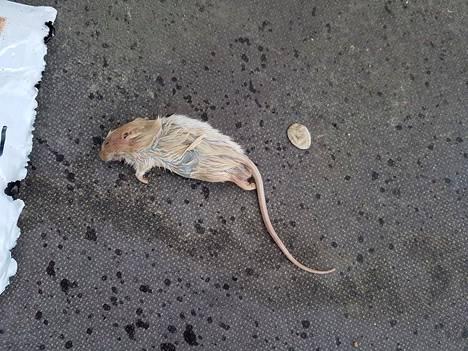 Tällainen kuollut rotta lähettiin blogisti Jori Eskolinin pojalle osoitetussa paketissa.