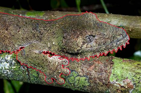 Tämä lisko on ulkonäöltään miltei kuin yksi puun oksista.
