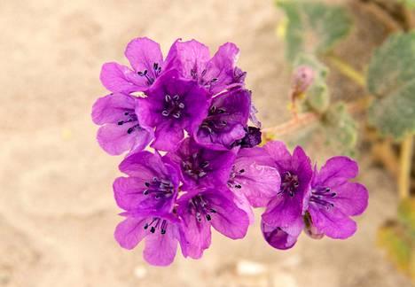 Phacelia calthifolia -kukat kasvoivat maaliskuun alussa Death Valleyssa.