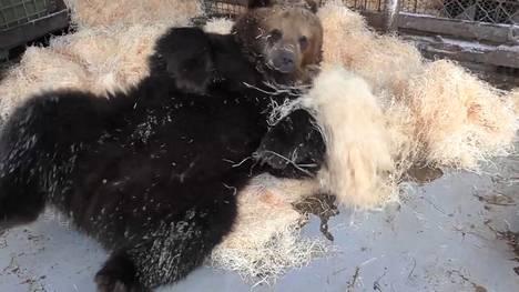 Juuso-karhu telmii tuoreissa pesätarpeissa.