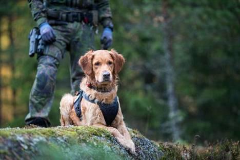 Lex on Puolustusvoimien ensimmäinen kultainennoutaja.